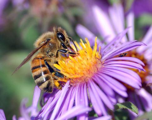 honey-bee-2.jpg