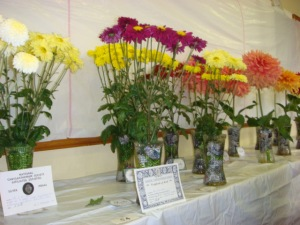Prize winning Dahlias and Chrysanthemums