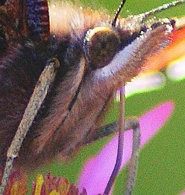 feeding butterfly 2