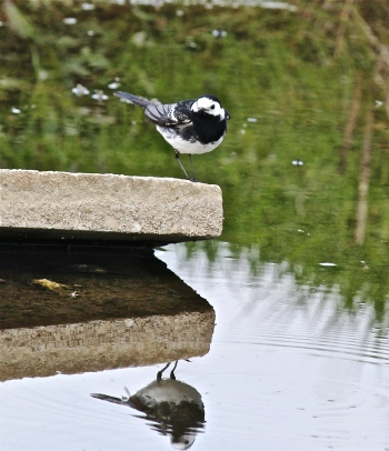 wagtail 4