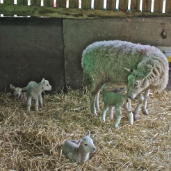 Mum and four lambs