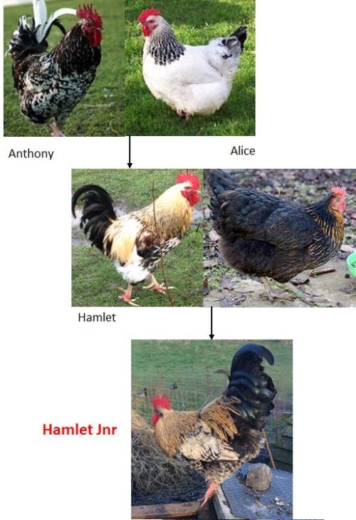 hamlet-jnr-line