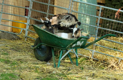 A barrow load of trouble!