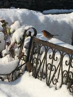 snowy robin
