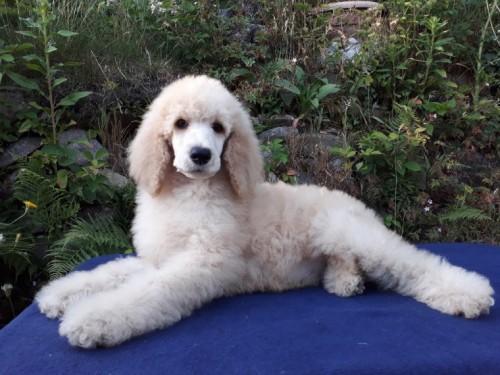 kc-reg-male-standard-poodle-puppy-5b2d471762c16-1