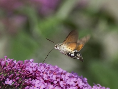 humming-bird-hawkmoth.jpg